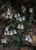 Antirrhinum sempervirens subsp. sempervirens