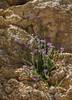 Erinus alpinus ssp. alpinus