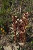Orobanche gracilis var. typica