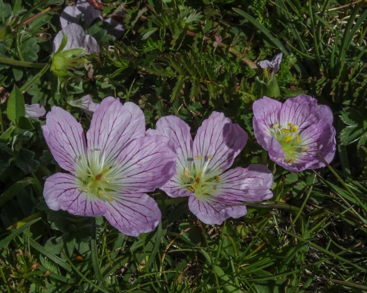 Geranium cinereum ssp. cinereum