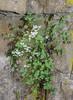Sarcocapnos enneaphylla and Asplenium trichomanes ssp csikii