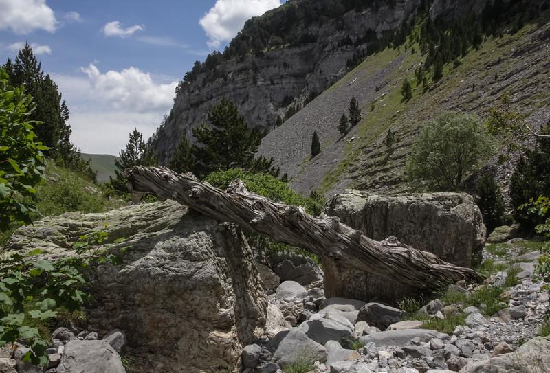 Pinus trunk
