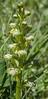Gymnadenia albida