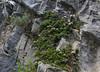 Globularia cordifolia ssp. nana