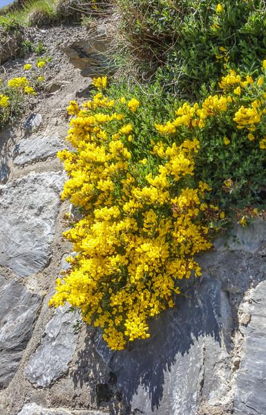 Cytisophyllum cf. sessilifolium ?