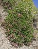 Astragalus incanus ?