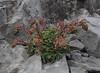 Hybride Saxifraga longifolia X Saxifraga paniculata