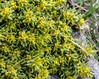 Thymelaea dioica