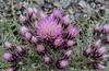 Carduus carlinoides ssp. carlinoides