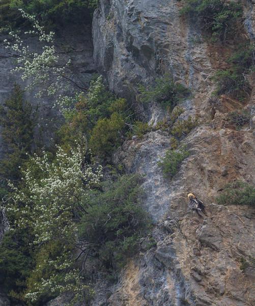 Gypaëtus barbatus