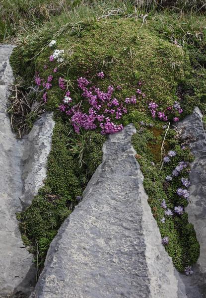 Silene acaulis and Globularia cordifolia ssp. nana