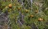 Juniperus oxycedrus subsp. badia