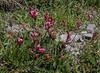 Astragalus purpureus ?