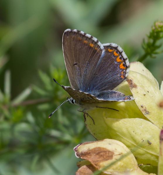 Polyommatus hispana