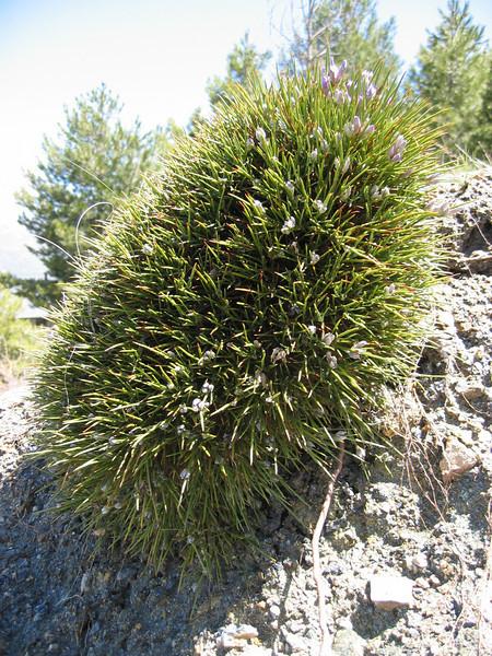 Erinacaea anthyllis (>2000m Sierra Nevada)
