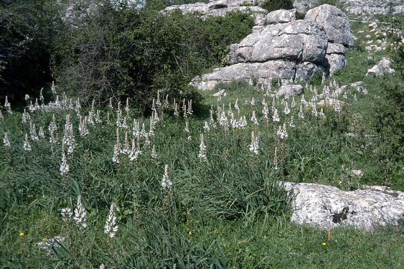 Asphodelus albus (El Torcal)