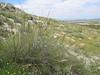 Linum narborense (habitat)