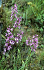 Orchis mascula ssp. mascula