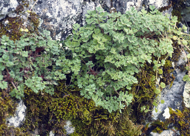 Saxifraga biternata (Endemic to South Spain, El Torcal )
