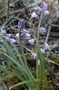 Scilla hispanica (syn. Endymion hispanica)