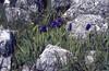 Iris subbuflora (Endemic)
