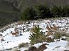 Capra pyrenaica hispanica (Sierra Nevada)