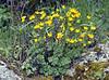 Ranunculus spec.