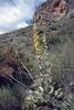 Verbascum rotundifolium