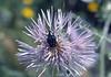 Oxythyrea funesta, beetle