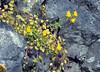 Linaria triphylla