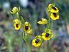 Ophrys lutea