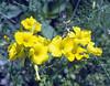 Oxalis pes-caprae (O. cernua)