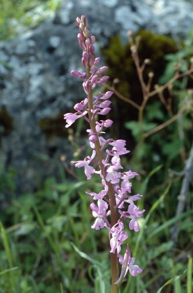 Orchis langei