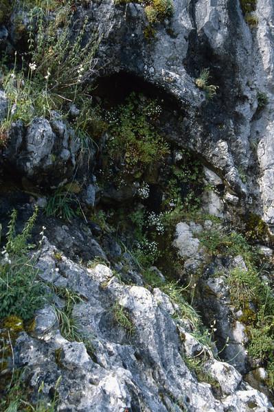 Saxifraga bourgeana