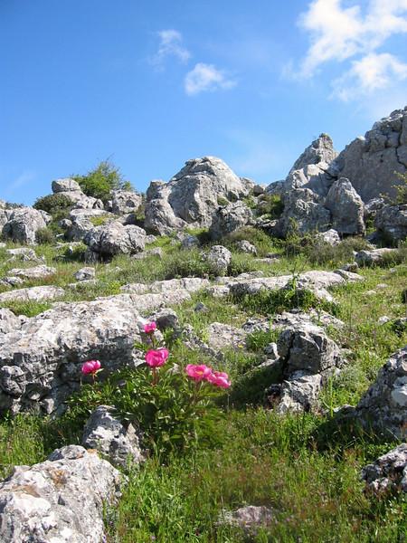 Paeonia broteroi (habitat)