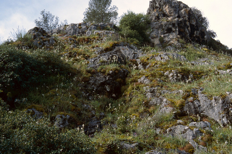 Ornithogalum reverchonii (near Grazalema)