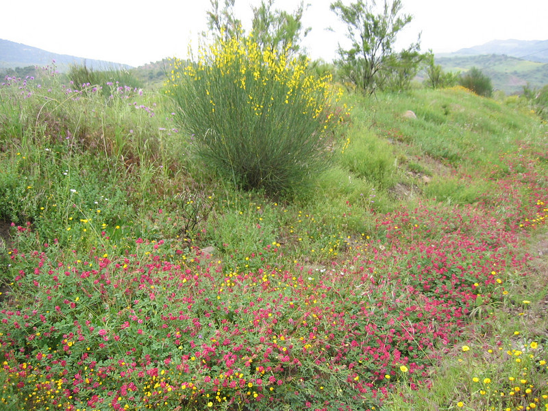 Anthyllis vulneraria and Genista spec.