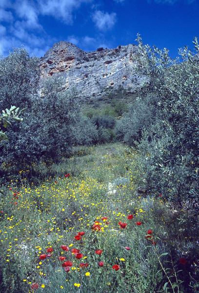 Papaver rhoeas, spring 2004