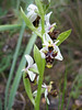 Ophrys scolopax (NL:smalle sniporchis)