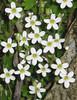close up Saxifraga gemmulosa?