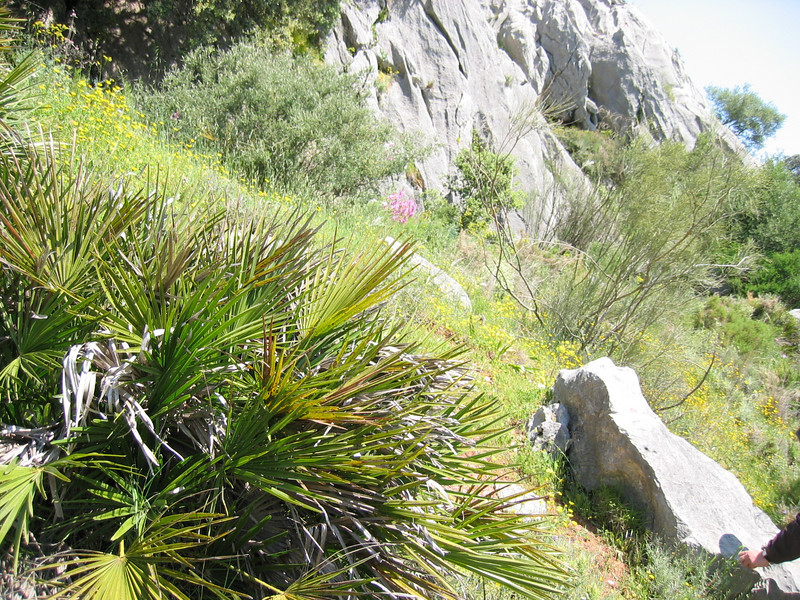 Chamaerops humilis (palm, native to Spain)