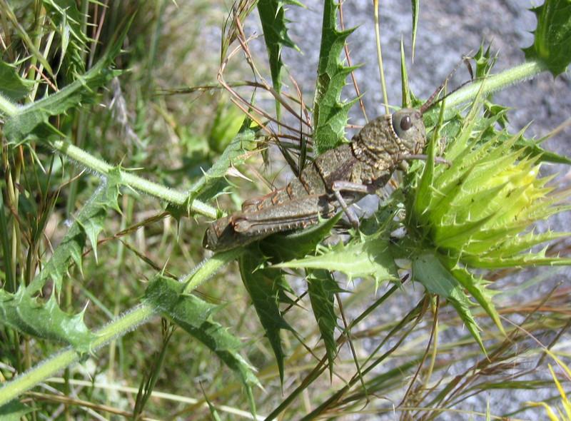 Chorthippus parallelus,(NL:krasser) on Carthamus arborescens