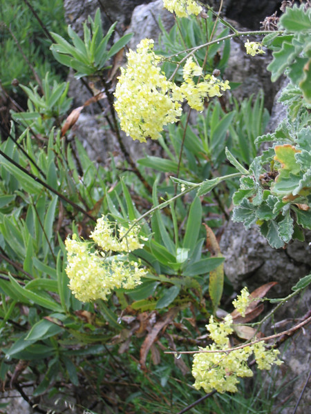 Biscutella frutescens (near Ronda)