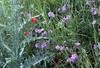Geranium tuberosum and Papaver rhoeas,