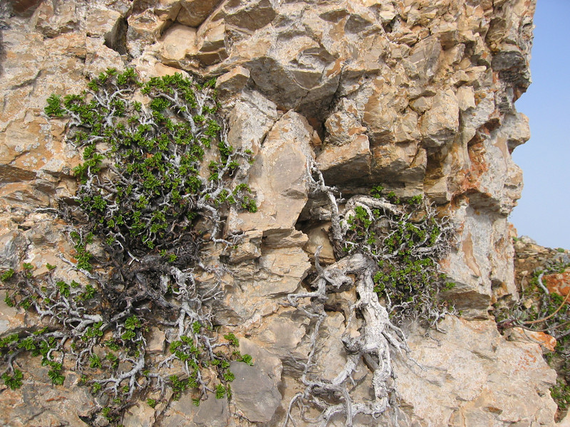 Salix spec. (Sierra Nevada)