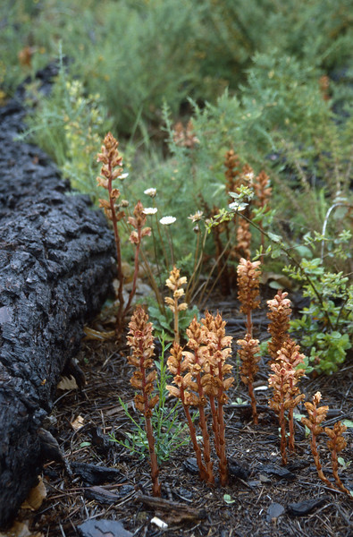 Orobanche gracilis var. deludens?