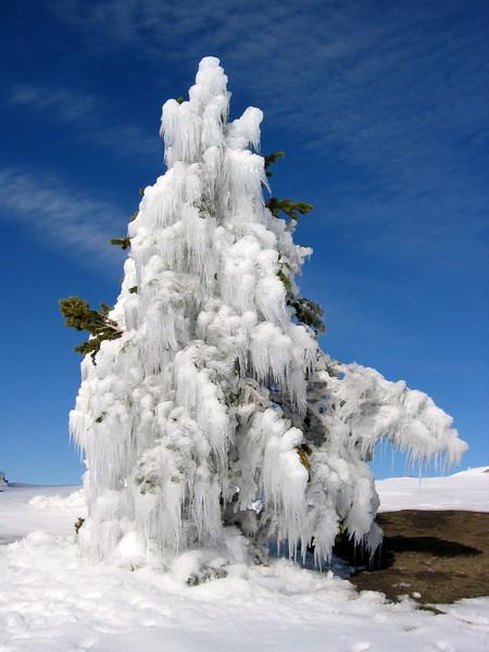 ice pinus,  (Sierra Nevada)
