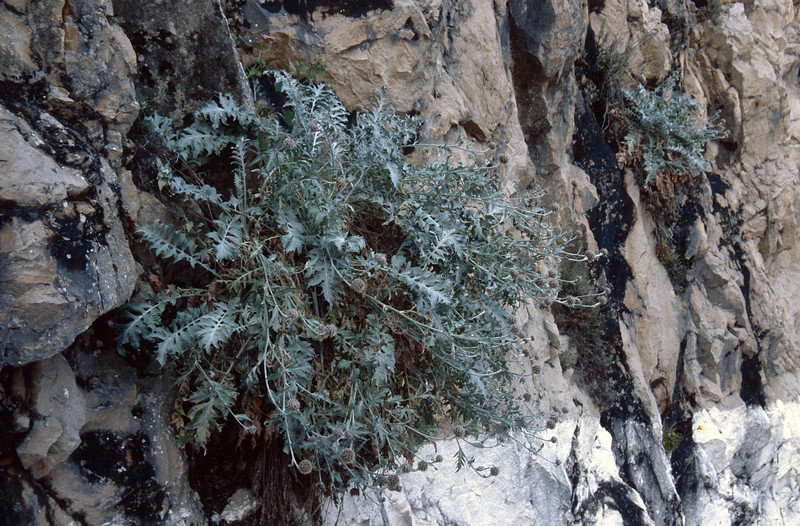 Centaurea clementei (Grazolema)