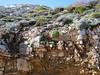 Saxifraga erioblasta (Habitat >2000m Sierra Nevada)
