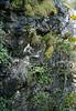 Saxifraga globulifera and Saxifraga bourgeana (Grazolema)
